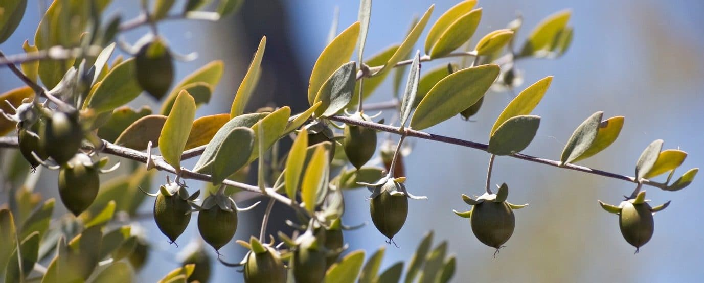 Jojoba Seeds - potential for biofuel producing less carbon